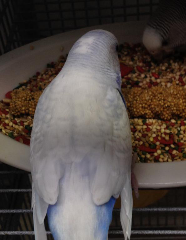 Opaline spangle greywing cock with cinnamon hen-image.jpg