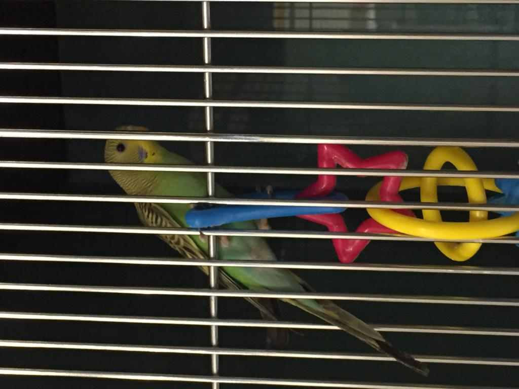 Then Newest Addition To My Budgie Family!!!-image.jpg