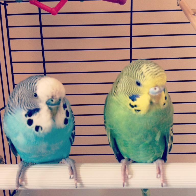 Three budgies -- two male/one possible female-image.jpg