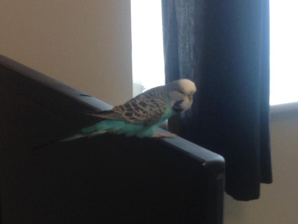 I was just wondering if my budgies eyes where normal-image.jpg
