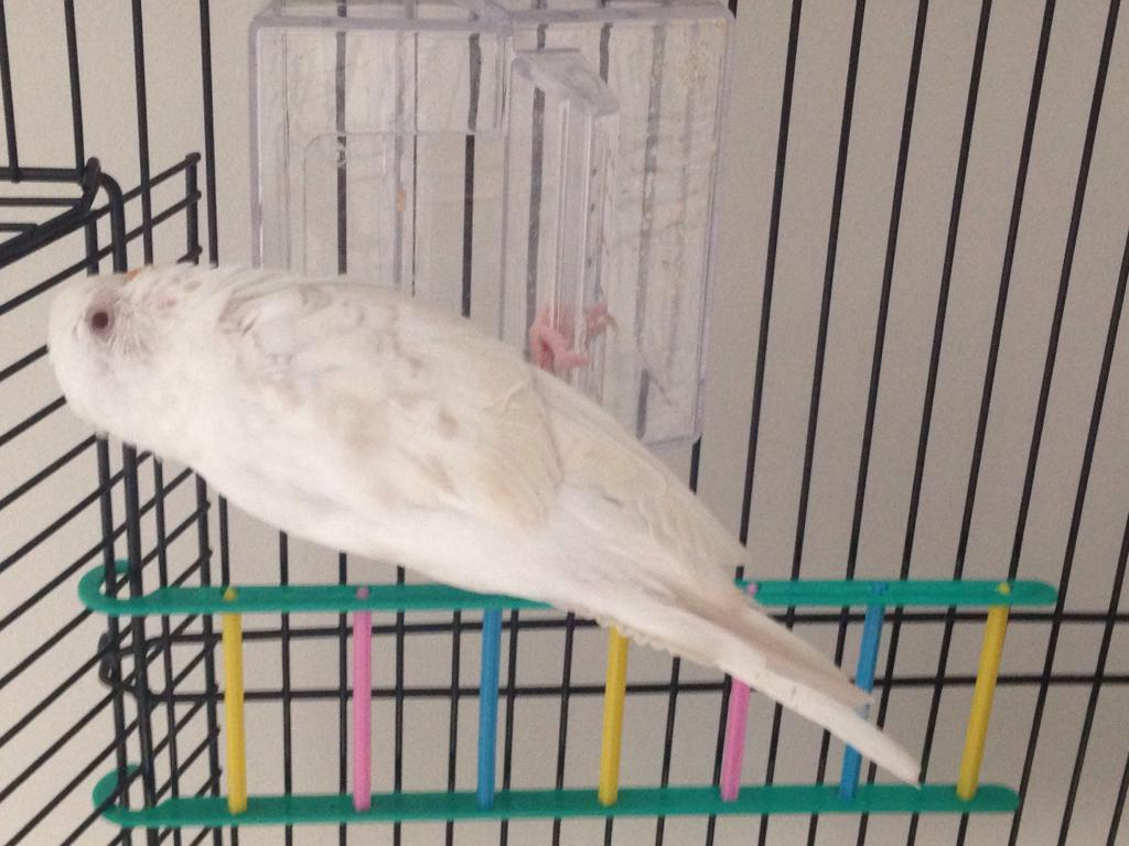 Sexing albino budgie-image.jpg