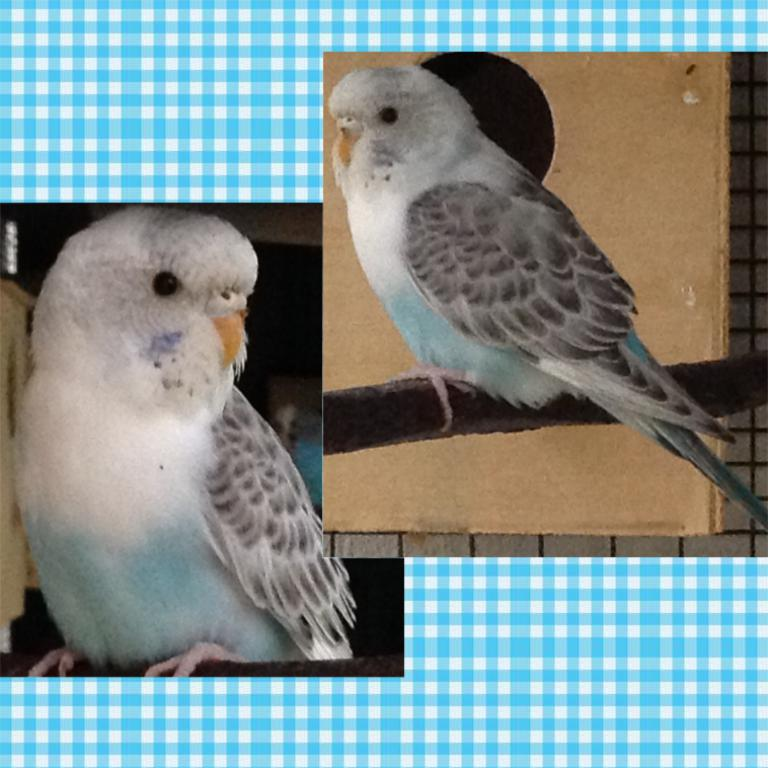 What is the mutation of this budgie?-image.jpg