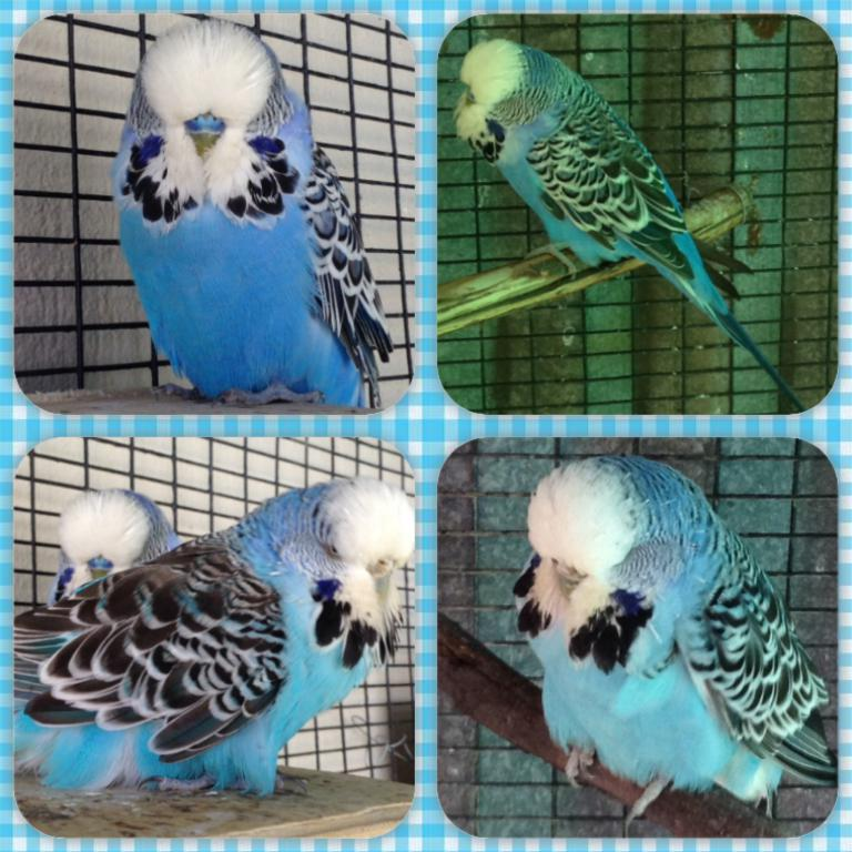 Please help to identify the CORRECT mutation names of my budgie pair-image.jpg