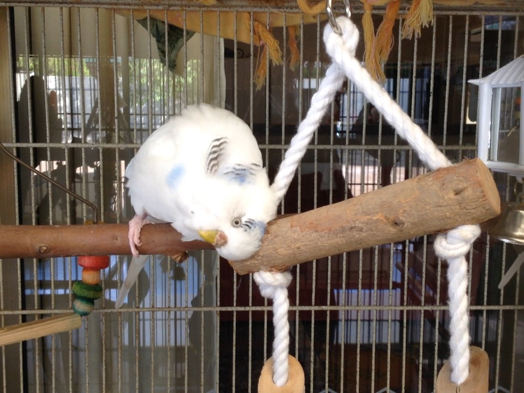 Training an Adult budgie?-image.jpg