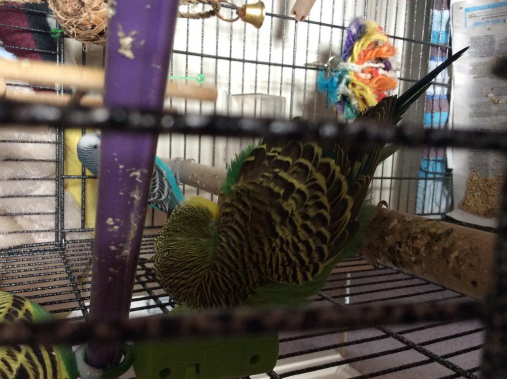 Female Budgies Keeps Sleeping-image.jpg