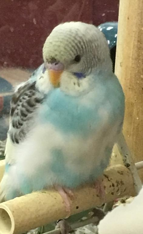 Hi, can guys determine the gender of two budgies?-image.jpg