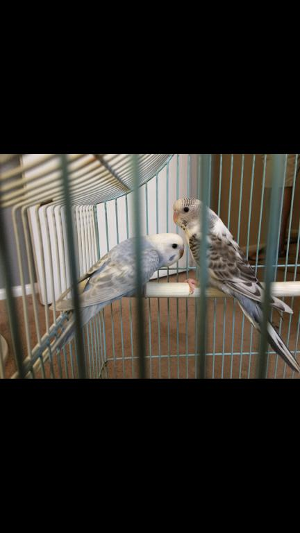 Identify my Budgies colors and mutations please c:-image.jpg