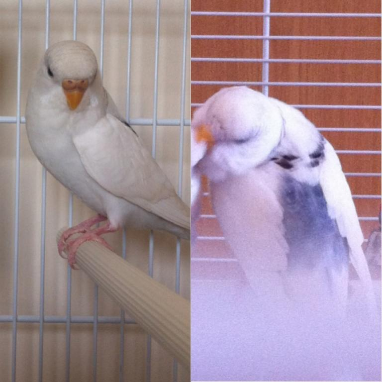 Is Barney a pied budgie?-image.jpg