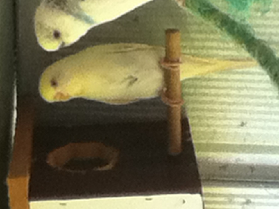 Please tell me what colour and mutation my bird is?-image.jpg