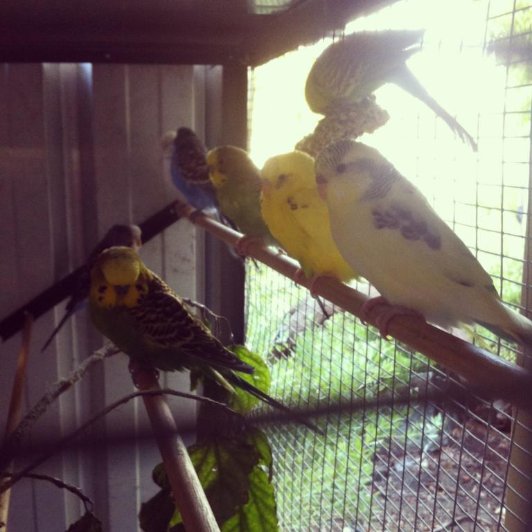 What mutations are my budgies please?-image.jpg