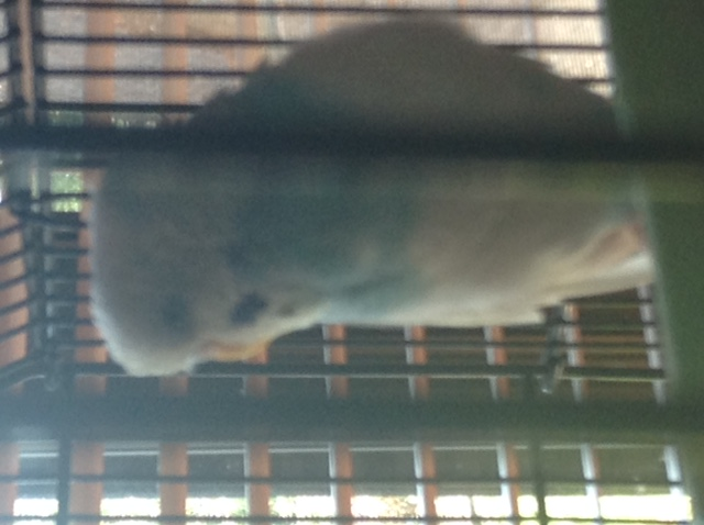 Pippen and Berry - Budgie 'Mutation' Names? Updated Pics :)-image1.jpg