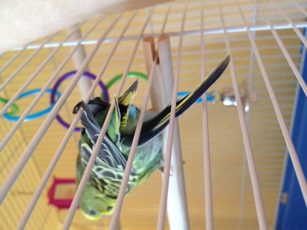 New Budgie Behavior Questions-image1.jpg