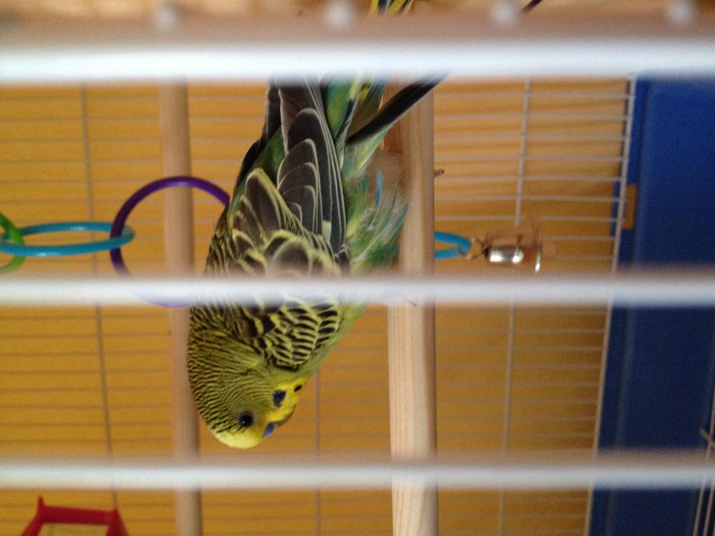 New Budgie Behavior Questions-image2.jpg