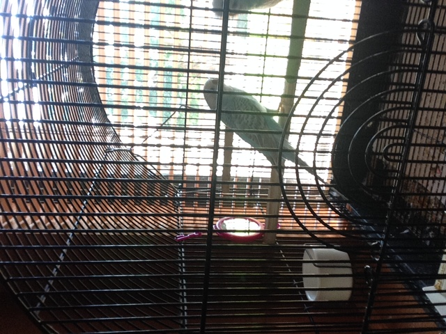 Pippen and Berry - Budgie 'Mutation' Names? Updated Pics :)-image4.jpg