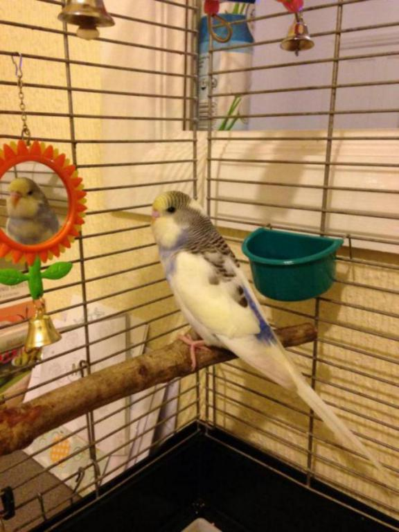 Advice on Budgie Mutation?-image_1421002396913.jpg