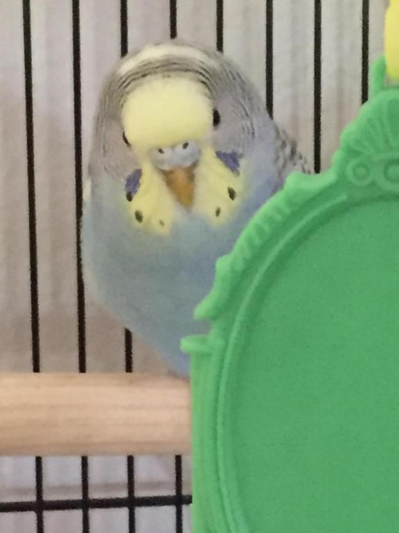 Request for help in determining my budgies gender-image_1433282613756.jpg
