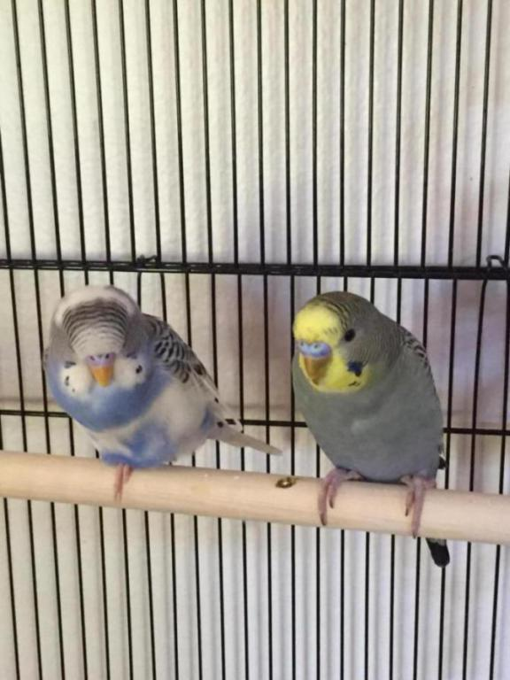 Request for help in determining my budgies gender-image_1433282686199.jpg