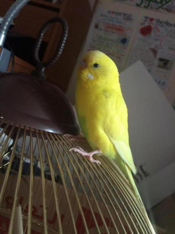 Do budgies ceres change colour for other reason than becoming an adult?-image_1434063340101.jpg