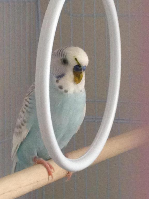 My budgie has poop stuck on his face?-image_1438199781187.jpg