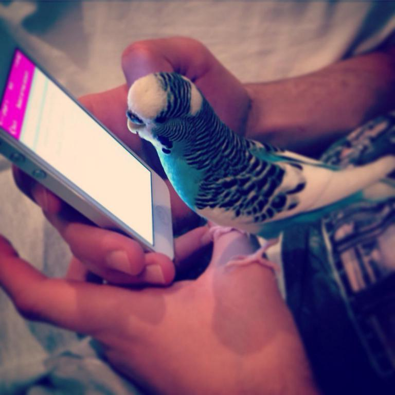 Budgie checking on my iPhone :))-image_1442570745006.jpg