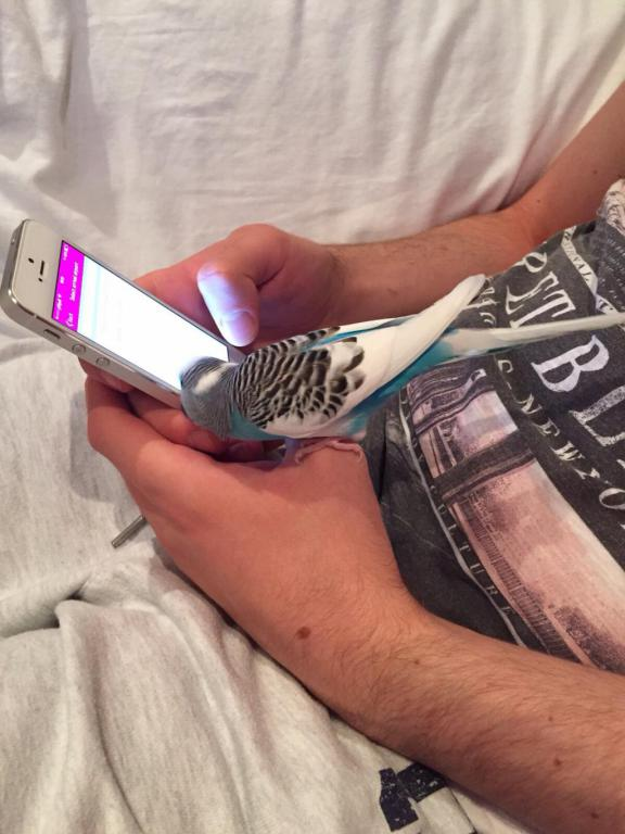 Budgie checking on my iPhone :))-image_1442570821288.jpg