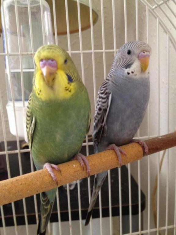 Please help sexing my babies budgie-image_1442755335053.jpg