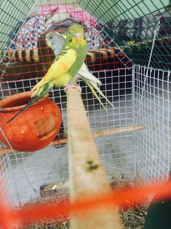 Female budgies bonding together!!-image_1442917825340.jpeg