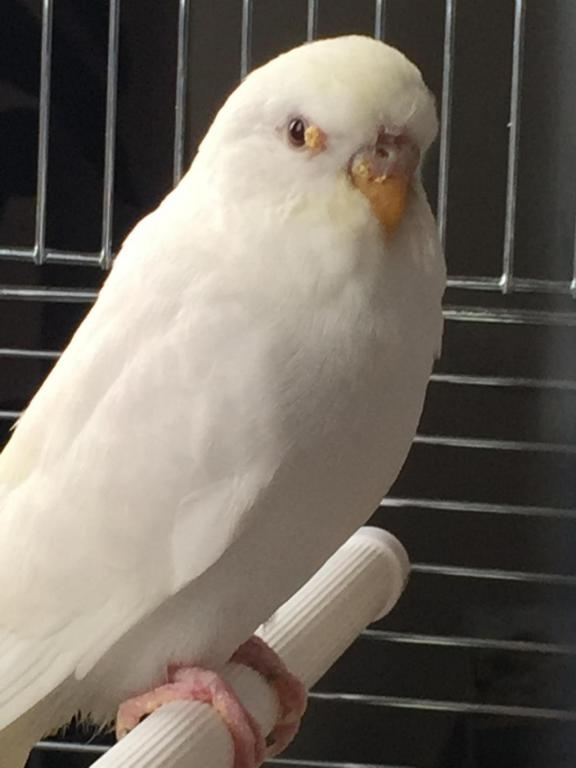 My new Budgie might have an issue. :(-image_1444242212679.jpg
