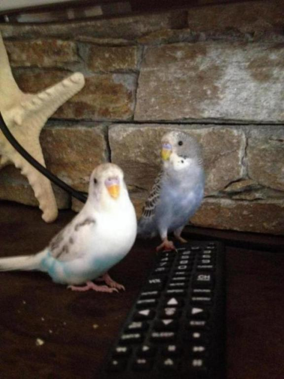 Is my budgie a girl or boy?-image_1445998409671.jpg