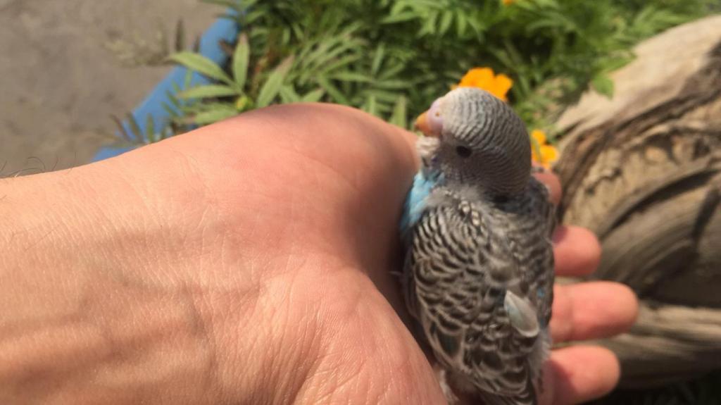 Budgie chicks-image_1456120638026.jpeg