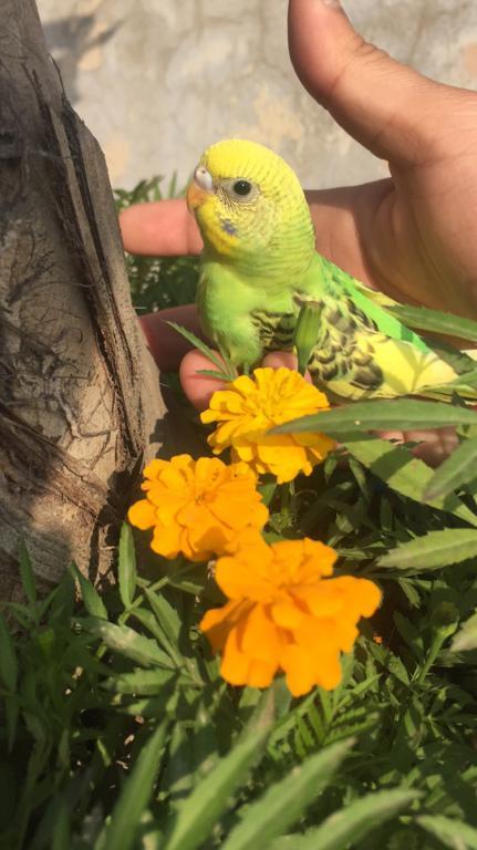 Budgie chicks-image_1456120655752.jpeg