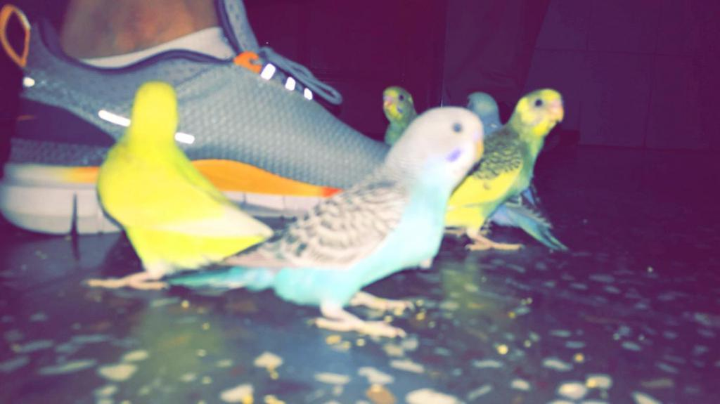 Budgie chicks-image_1456643384110.jpeg