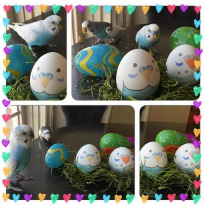 Easter Budgies-image_1459119655415.jpg