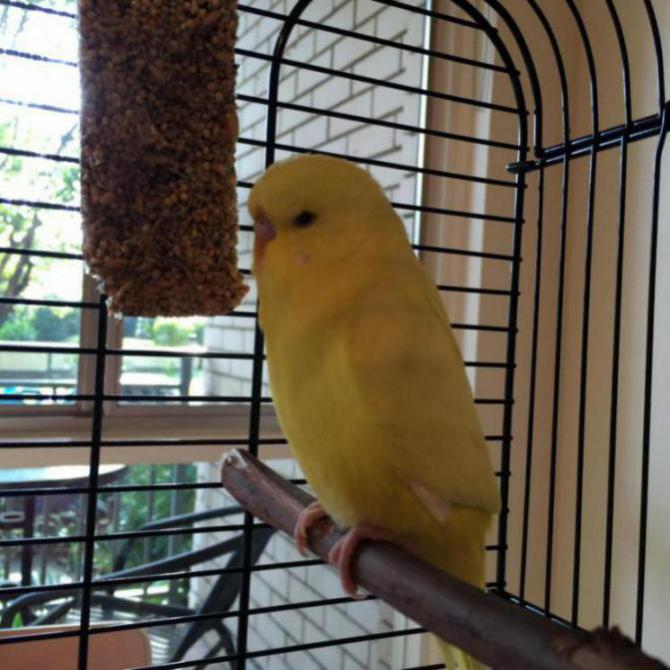 New little rescue budgie - problems-image_1468199348602.jpg