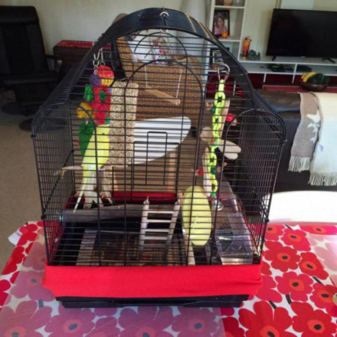 New little rescue budgie - problems-image_1468199372179.jpg