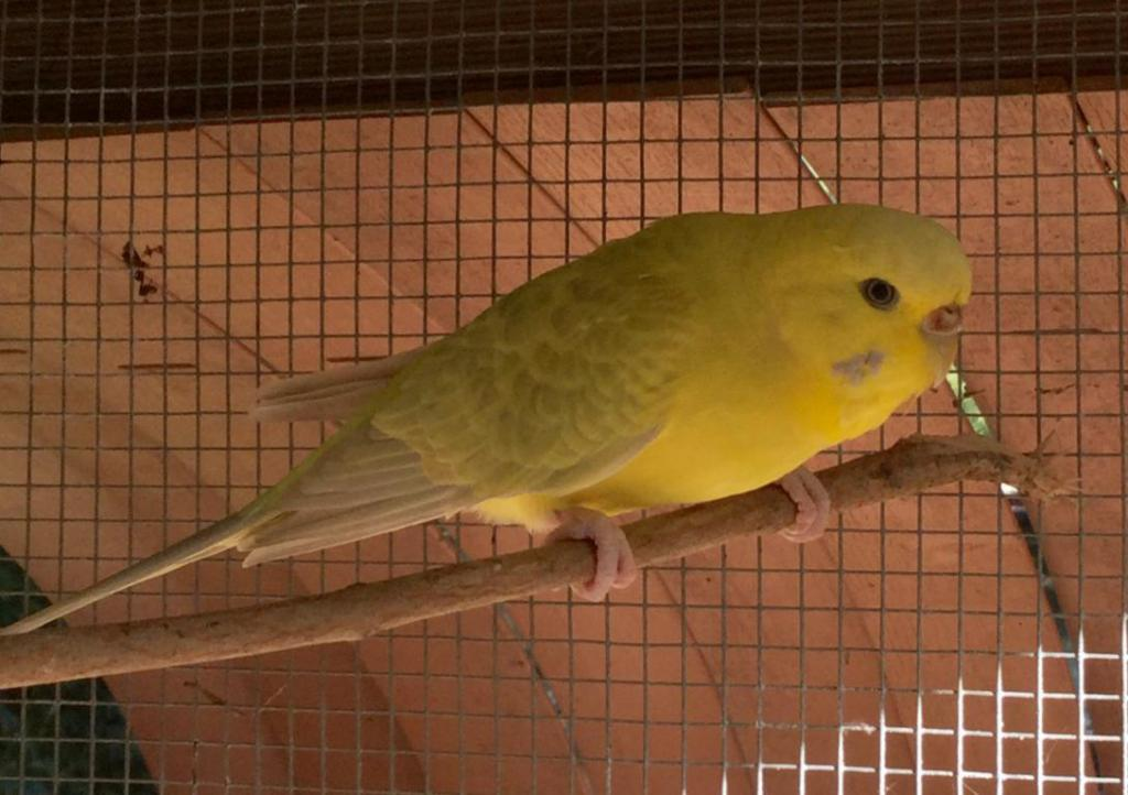 What type of budgies do I have and what can I expect the babies to be?-image_1480057868474.jpg