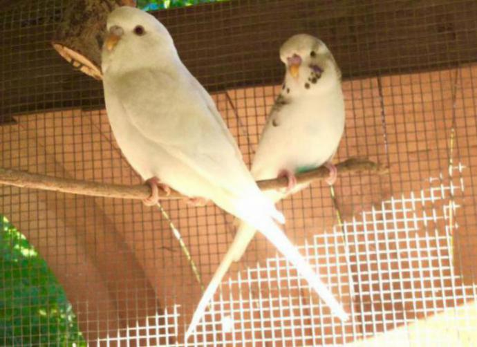 What type of budgies do I have and what can I expect the babies to be?-image_1480071940867.jpg