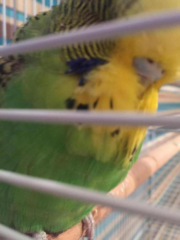Is our budgie Rocky possibly a female?-image_1489486147215.jpg