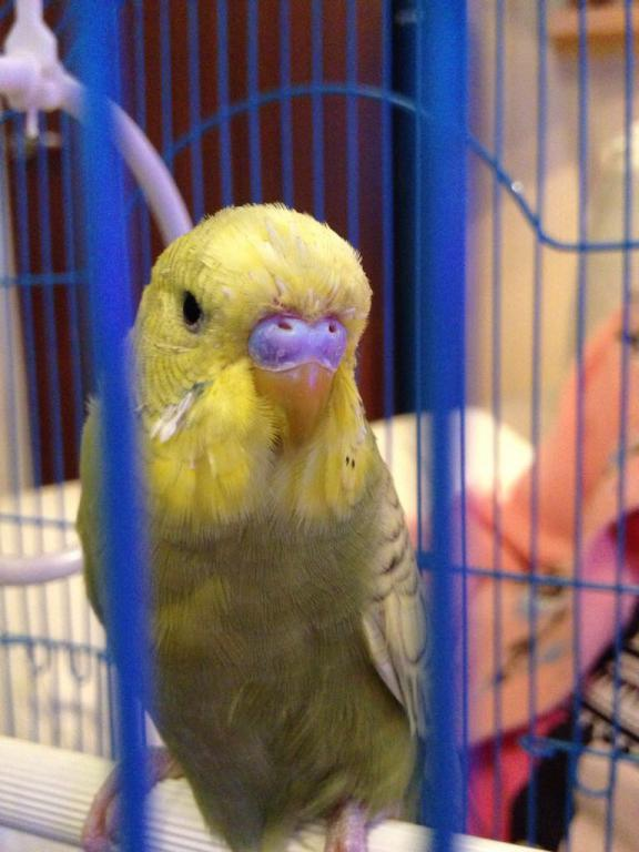 Is our budgie Rocky possibly a female?-image_1489862350487.jpg