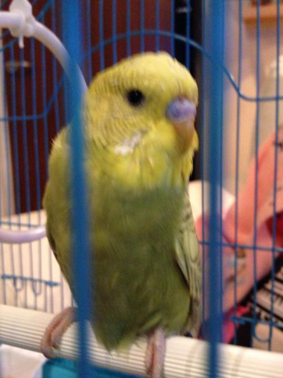 Is our budgie Rocky possibly a female?-image_1489862369797.jpg