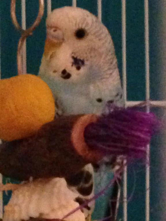 Is our budgie Rocky possibly a female?-image_1489862387266.jpg