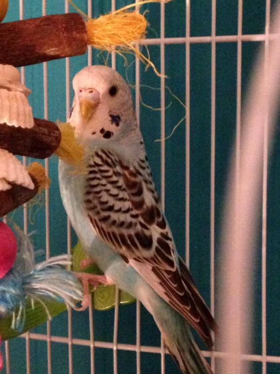 Is our budgie Rocky possibly a female?-image_1489862405849.jpg