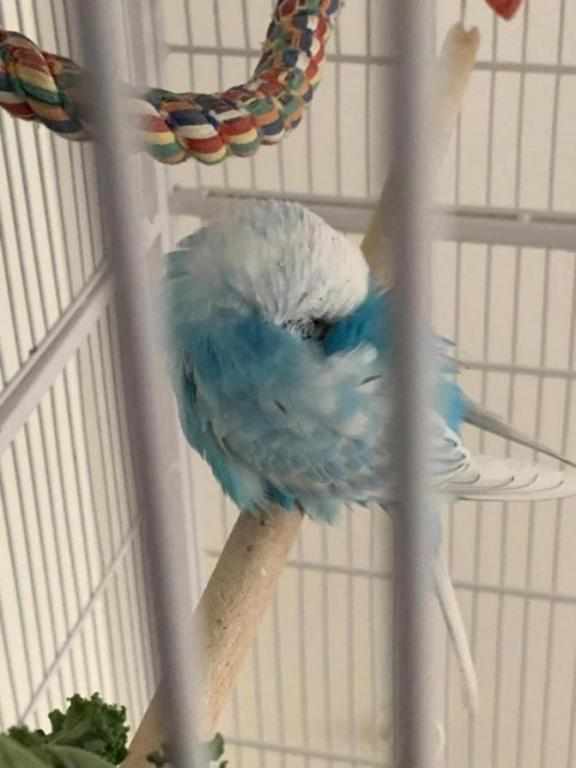 Budgie bitting his own neck-image_1586327657508.jpg
