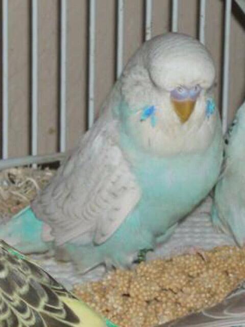 Potential male flock member-mutation!?-imageuploadedbypetguide1420175255.674779.jpg