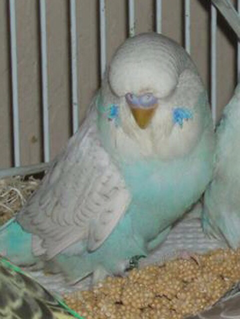 Potential male flock member-mutation!?-imageuploadedbypetguide1420175267.364173.jpg