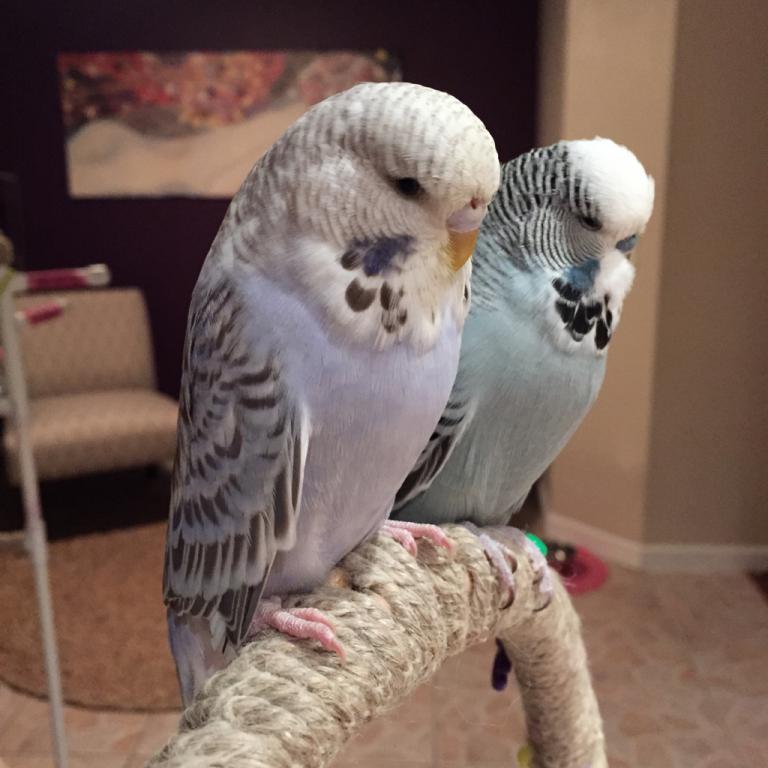 Budgies & Other pets-imageuploadedbypetguide1421649064.492218.jpg