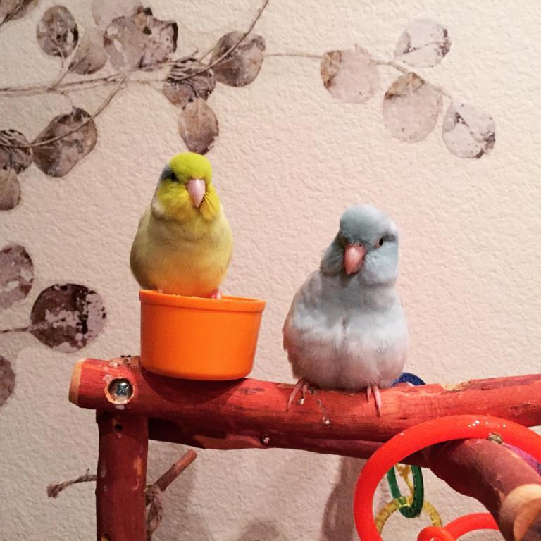 Budgies & Other pets-imageuploadedbypetguide1421649122.387830.jpg