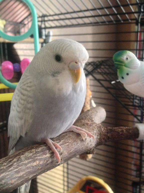 What type of budgie is Kacey????-imageuploadedbypg-free1392464631.166848.jpg