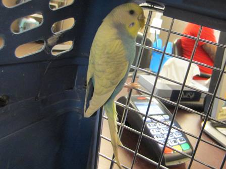 Any one in Edmonton, Ab wanting a budgie?-imageuploadedbypg-free1407370369.501168.jpg