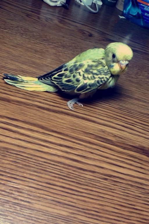 Budgie has very splayed legs..need Help!-imageuploadedbypg-free1432863141.849915.jpg